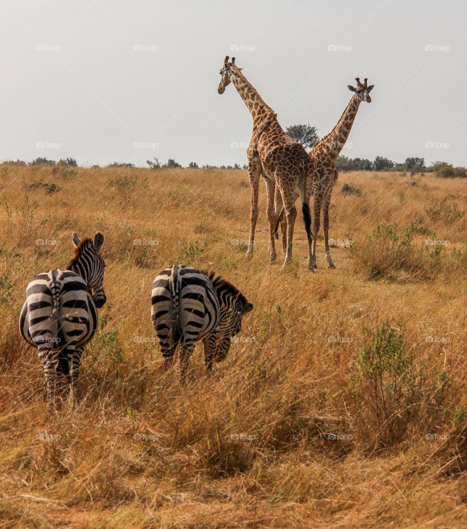 Giraffes and zebra in the Masai Mara