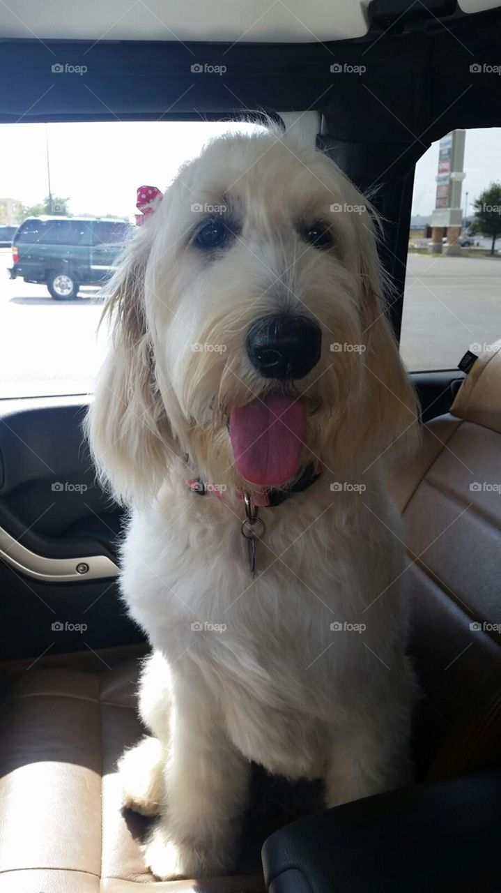 Rizzo. My golden doodle