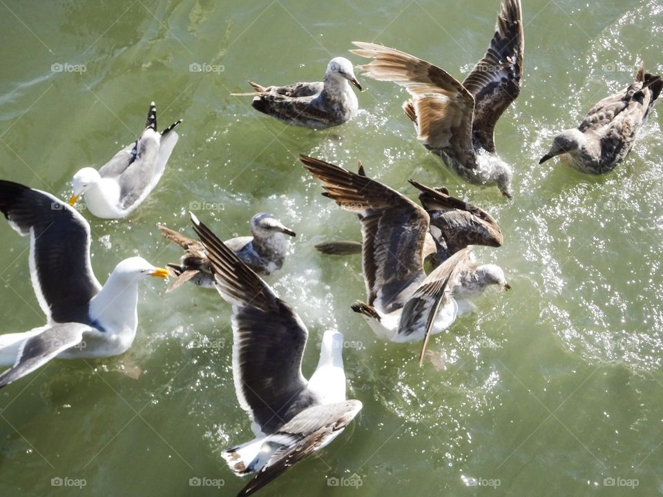 Seagulls in water