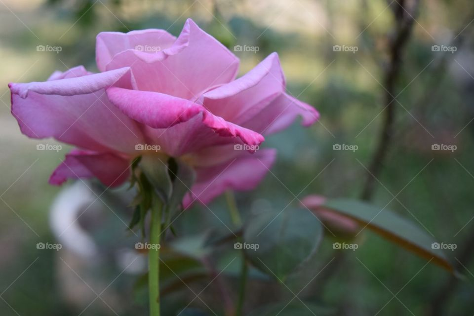 The pink rose in garden