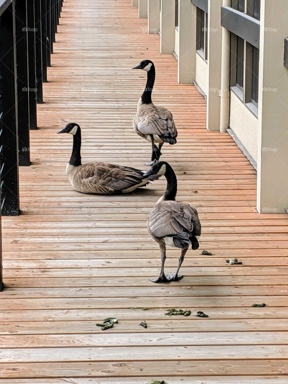 Canadian geese making themselves at home on the deck of an office building 7 4 19