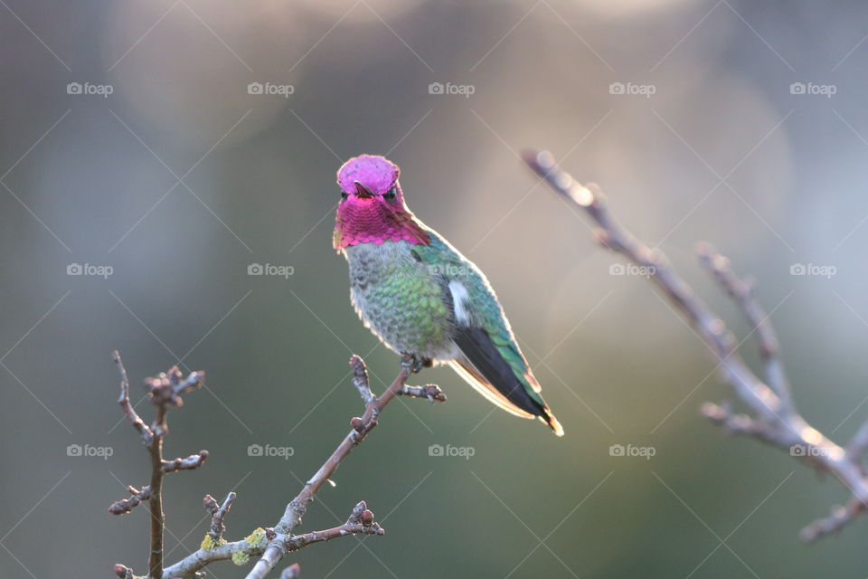 Hummingbird perching on a branch with buds on early spring morning