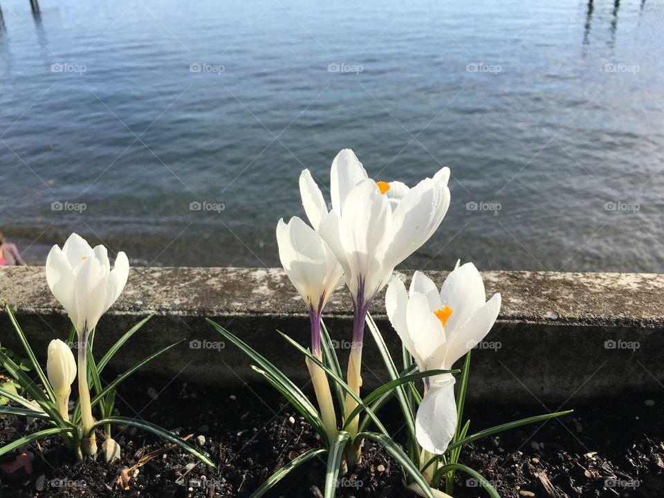 White crocuses blooming at lakeshore