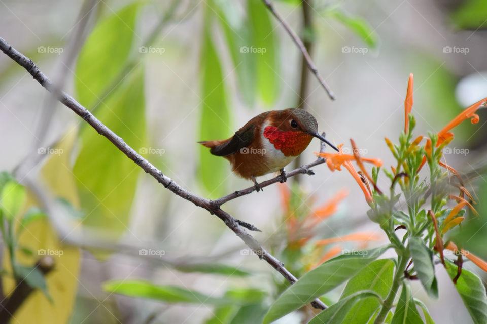 Hummingbird feeding on new blossoms of honeysuckle flowers in spring