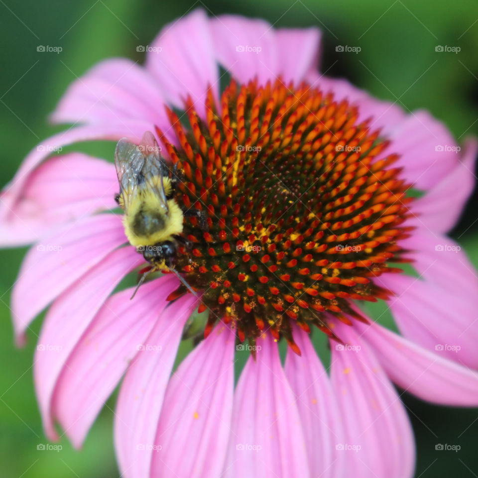 Happy Bumblebee pollinating the purple cone flower.