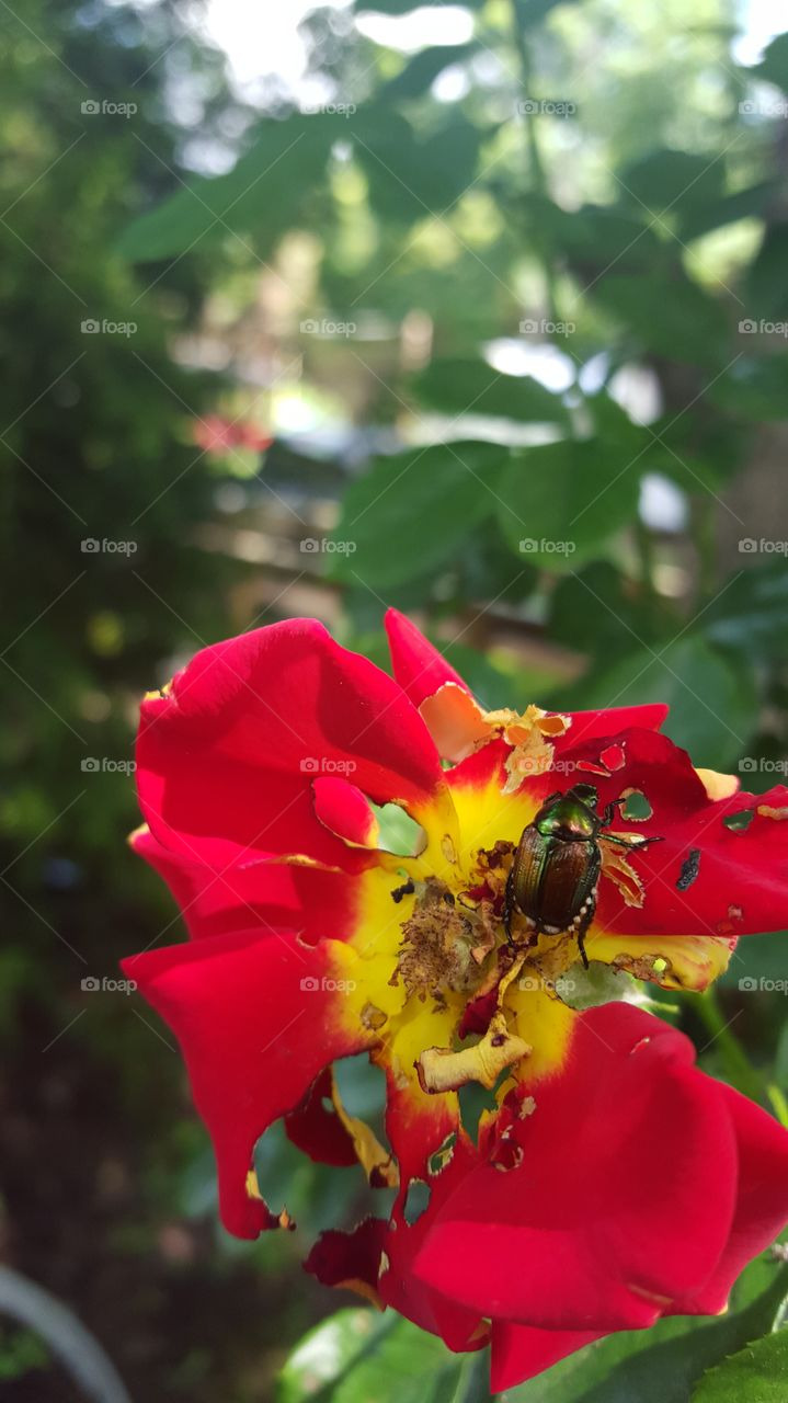 june bug vs rose