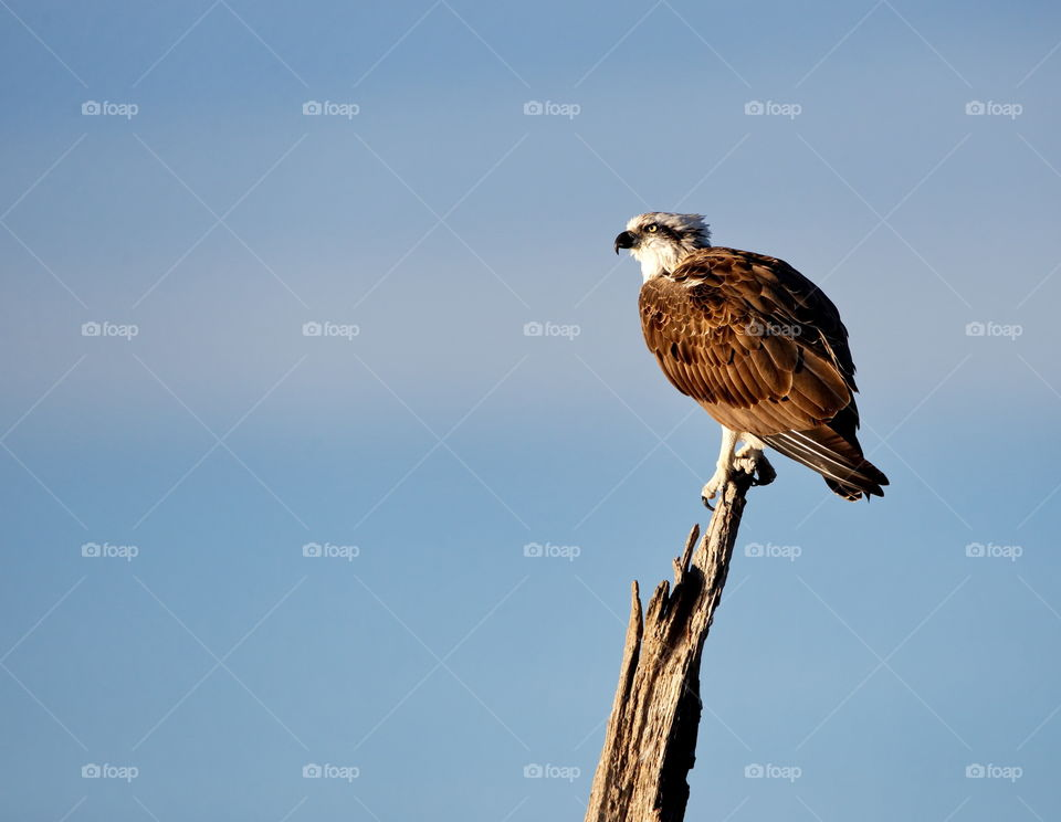 western osprey looking for food from his lookout