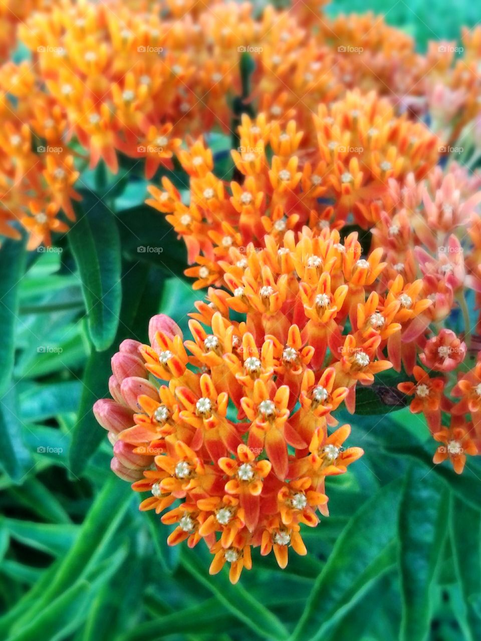 Butterfly plant. A flowering beauty that gets noticed.